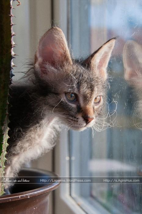 LaPerm kitten, Ingel, 9 weeks old