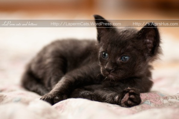 Jorid - black LaPerm kitten