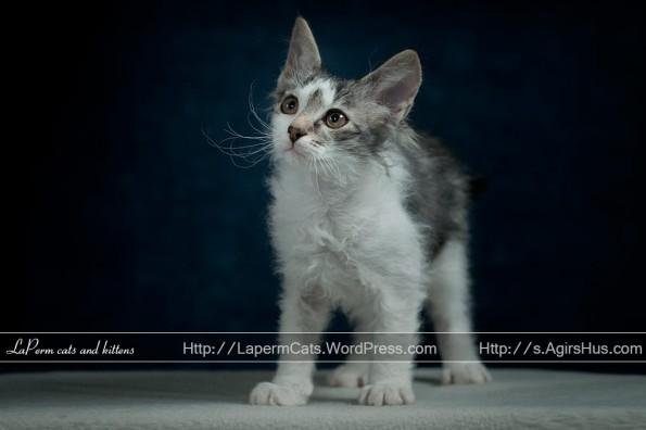 11 weeks old LaPerm kitten
