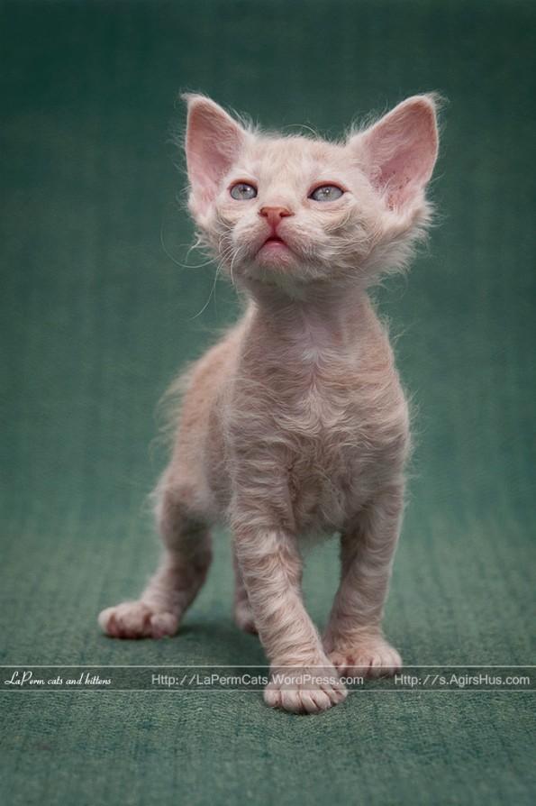 La Perm kitten
