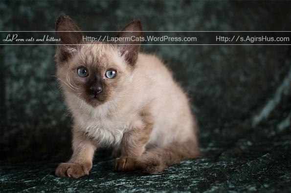 S*ÄgirsHus BC Ran 11 weeks old LaPerm kitten