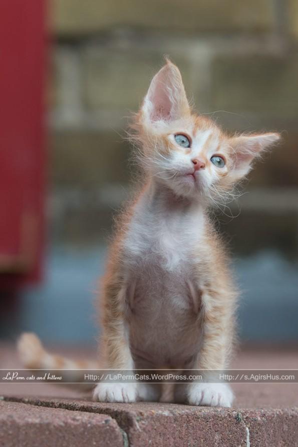 Ugi, 7 weeks old LaPerm kitten.